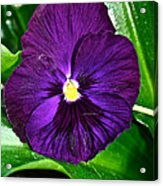 Pure Purple Acrylic Print