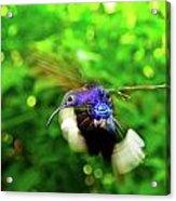 Purple And Blue Hummingbird  Acrylic Print