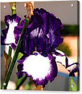 Purple And White Iris Acrylic Print