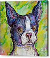 Purple Boston Terrier Acrylic Print