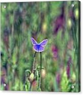 Purple Butterfly Acrylic Print