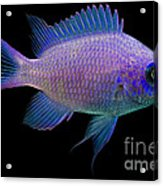 Purple Chromis Acrylic Print