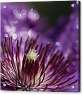 Purple Clematis And Bokeh Acrylic Print