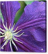 Purple Clematis Acrylic Print