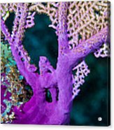 Purple Coral Acrylic Print