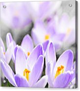 Purple Crocus Blossoms Acrylic Print