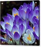Purple Crocus Cluster Spring Choir Acrylic Print