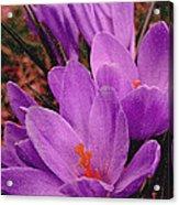 Purple Crocus With A Texture Acrylic Print