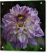 Purple Dahlia 3 Acrylic Print
