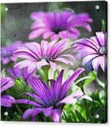 Purple Daisies  Acrylic Print