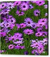 Purple Daisies Square Acrylic Print