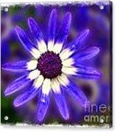 Purple Daisy Photoart Acrylic Print