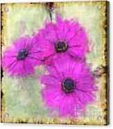 Purple Daisy Trio II Acrylic Print