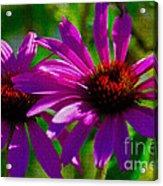 Purple Daisy's Acrylic Print