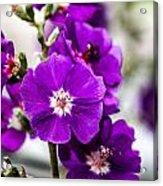 Purple Delight Acrylic Print