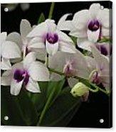 Purple Dendrobium Stem Acrylic Print