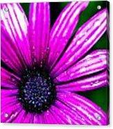 Purple Dew Acrylic Print
