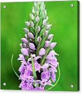 Purple Early Morning Orchid Acrylic Print