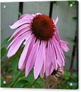 Purple Echinacea Acrylic Print