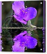 Purple Elegance - Spider Wort Acrylic Print