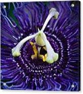 Purple Flower 3 Acrylic Print