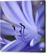 Purple Flower Close-up Acrylic Print