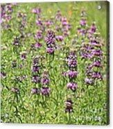 Purple Flower Field Acrylic Print