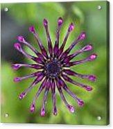 Purple Flower In Bloom Acrylic Print
