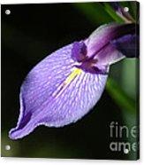 Japanese Iris Petal Acrylic Print