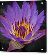 Purple Water Lily Acrylic Print