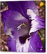 Purple Gladolia Acrylic Print