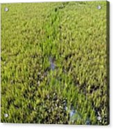 Purple Glasswort (salicornia Ramosissima) Acrylic Print