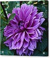 Purple Haze Dahlia Acrylic Print