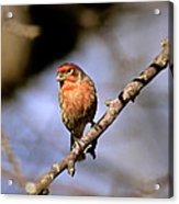 Purple House Finch Acrylic Print