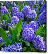 Purple Hyacinths Acrylic Print