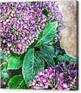 Purple Hydrangeas Acrylic Print