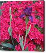 Purple Iris In Pink  Acrylic Print
