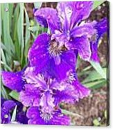 Purple Iris With Water Droplet Acrylic Print