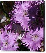 Purple Lace Acrylic Print