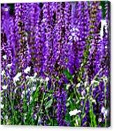 Purple Lavender Flower In Bloom  Acrylic Print