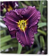 Purple Lilly Acrylic Print