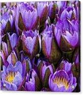 Purple Lotus Acrylic Print