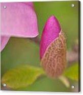 Purple Magnolia Acrylic Print