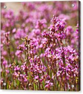 Purple Meadow Acrylic Print