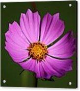 Purple Nurple Acrylic Print