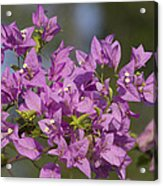 Purple Of The Bougainvillea Blossoms Acrylic Print