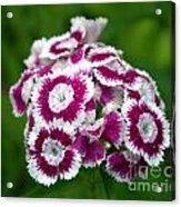 Purple On White Flowers Acrylic Print