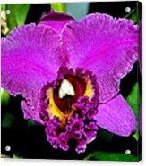 Purple Orchid 006 Acrylic Print