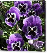 Purple Pansies Square Acrylic Print
