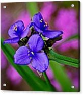 Purple Passion Acrylic Print